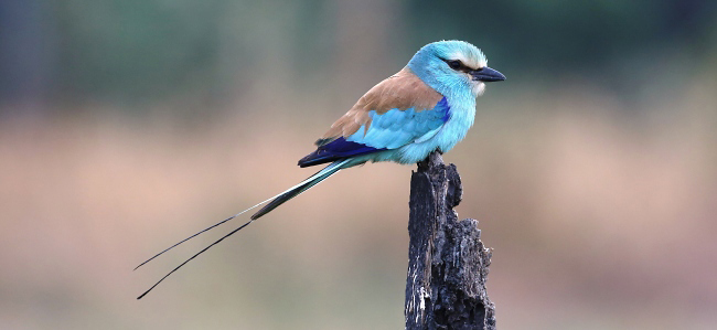 Photograph of Abyssinian Roller