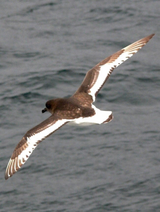 Photograph of Antarctic Petrel
