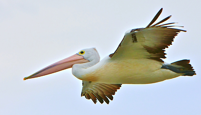 Photograph of Australian Pelican