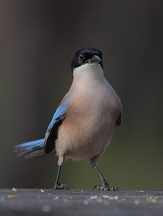 Photograph of Azure-winged Magpie
