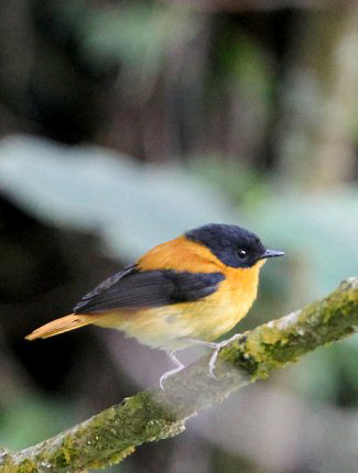Photograph of Black-and-orange Flycatcher