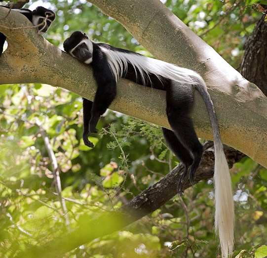 Photograph of Black-and-white Colobus Monkey