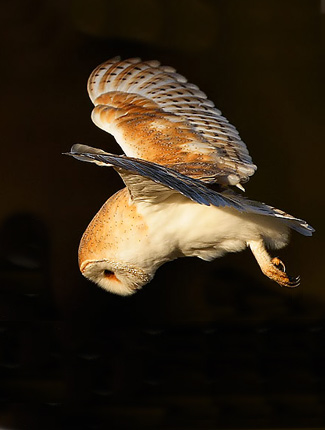 Photograph of Barn Owl