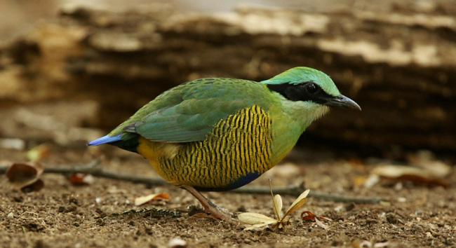 Photograph of Bar-bellied Pitta