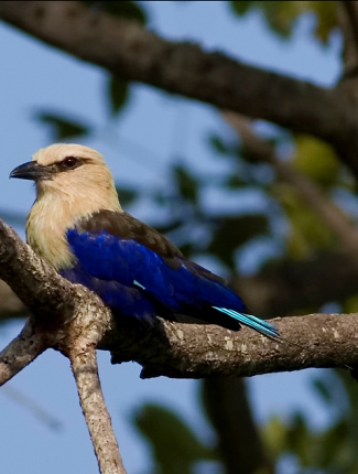 Photograph of Blue-bellied Roller