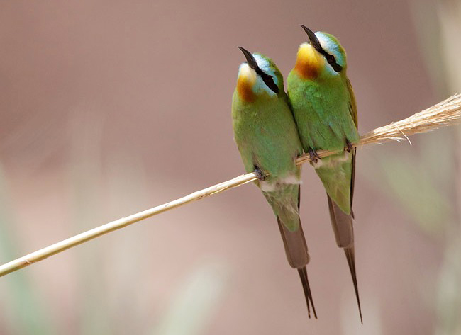 Photograph of Blue-cheeked Bee-eaters