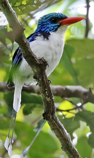 Photograph of Biak Paradise Kingfisher