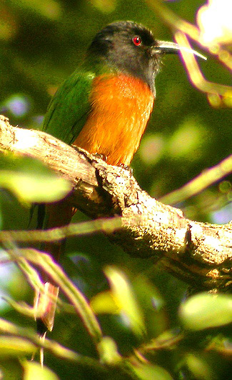 Photograph of Black-headed Bee-eater
