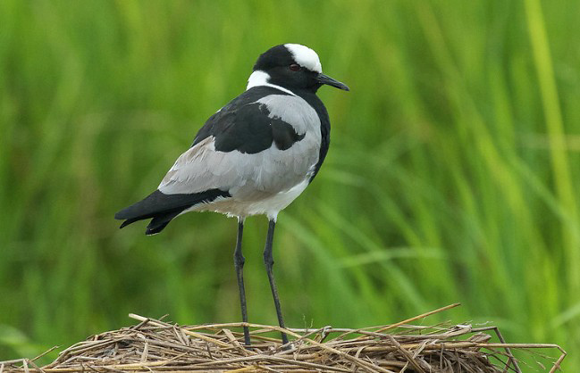 Photograph of Blacksmith Plover