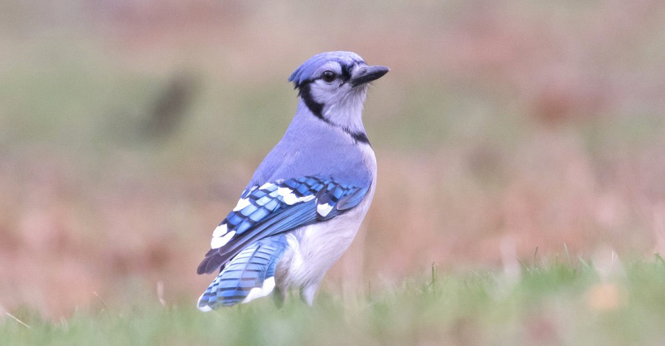 Photograph of Blue Jay