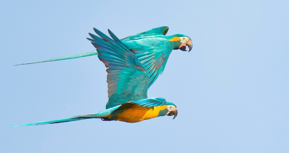 Photograph of Blue-throated Macaws