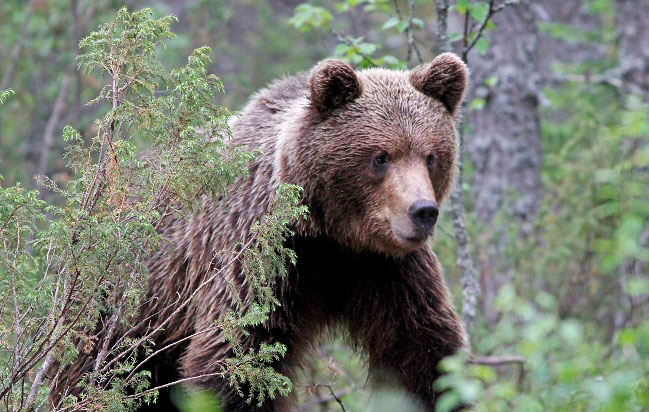 Photograph of Brown Bear