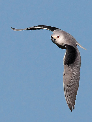 Photograph of Black-shouldered Kite