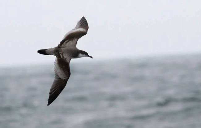 Photograph of Buller's Shearwater