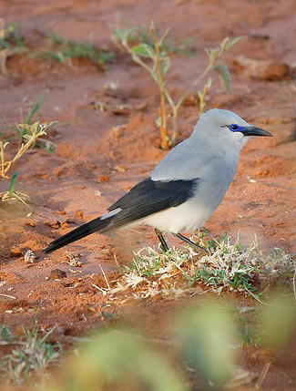 Photograph of Stresemann's Bushcrow