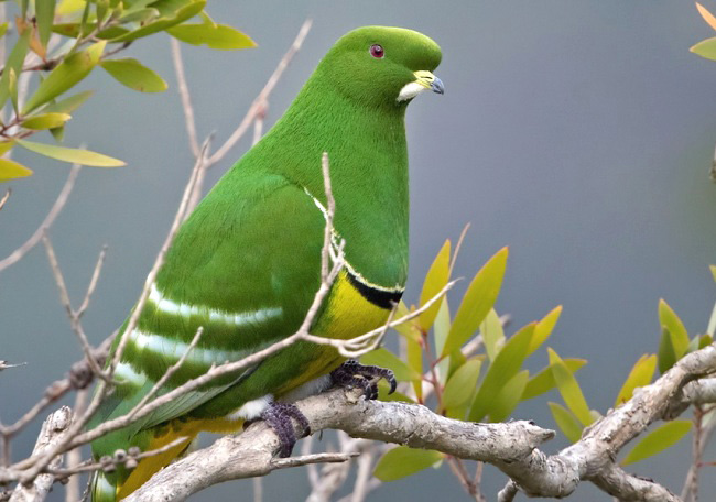 Photograph of Cloven-feathered Dove