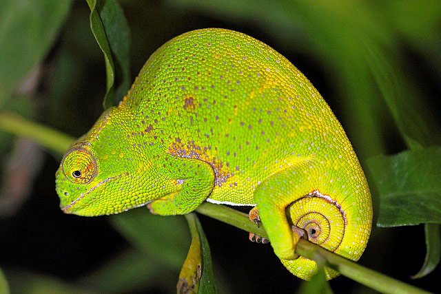Photograph of Canopy Chameleon