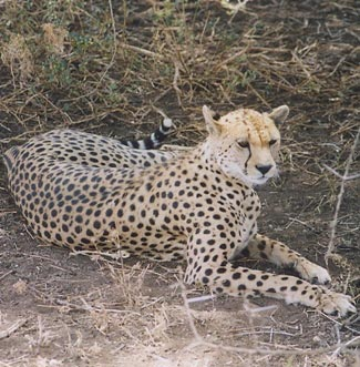 Photograph of Cheetah