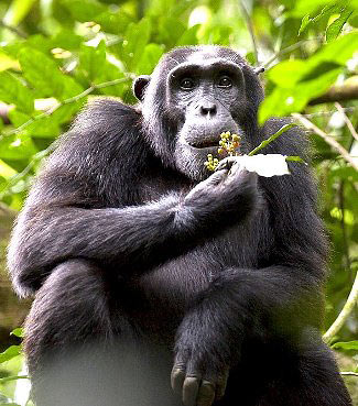 Photograph of Chimpanzee