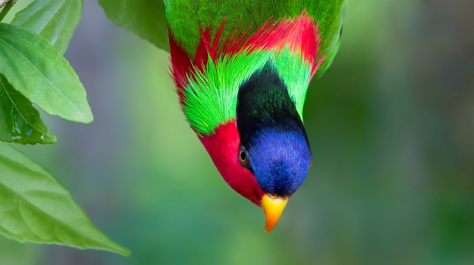 Photograph of Collared Lory