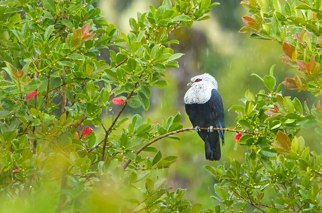 Photograph of Comoros Blue Pigeon