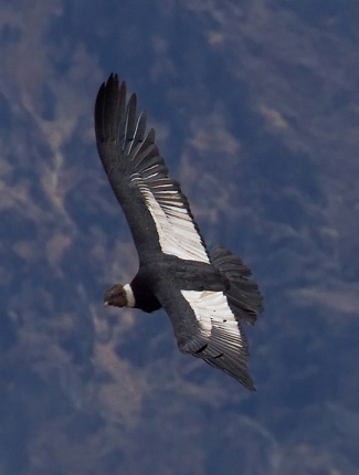 Photograph of Andean Condor