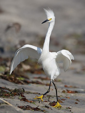 Photograph of Snowy Egret