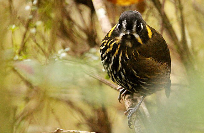 Photograph of Crescent-faced Antpitta