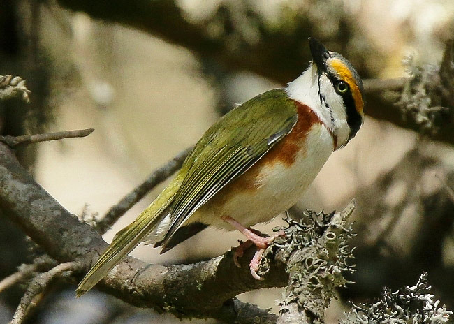 Photograph of Chestnut-sided Shrike Vireo