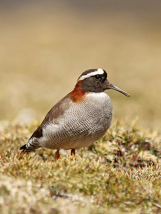 Photograph of Diademed Sandpiper Plover