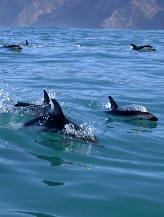 Photograph of Dusky Dolphins