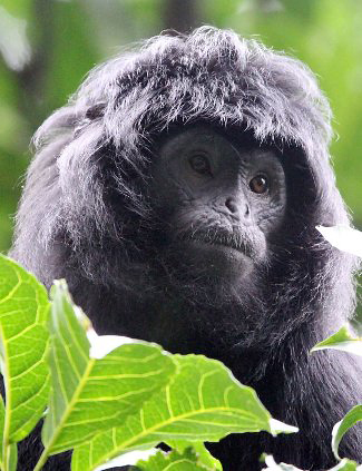 Photograph of Ebony Leaf Monkey