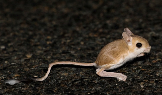 Photograph of Lesser Egyptian Jerboa