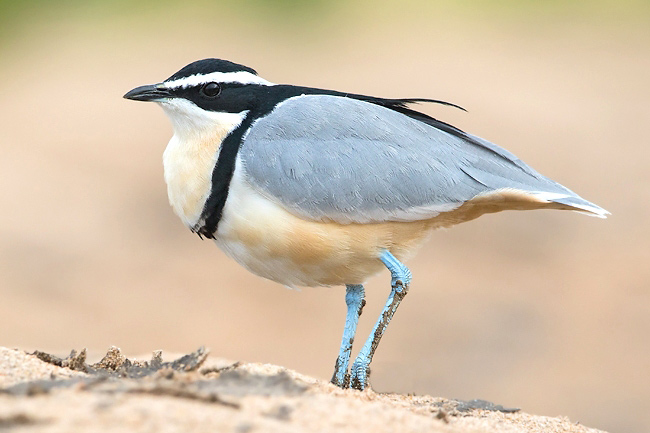 Photograph of Egyptian Plover