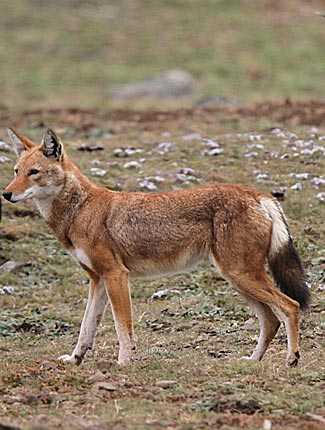 Photograph of Ethiopian Wolf