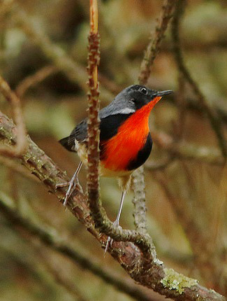 Photograph of Firethroat