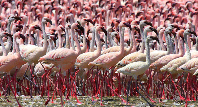 Photograph of Lesser Flamingos