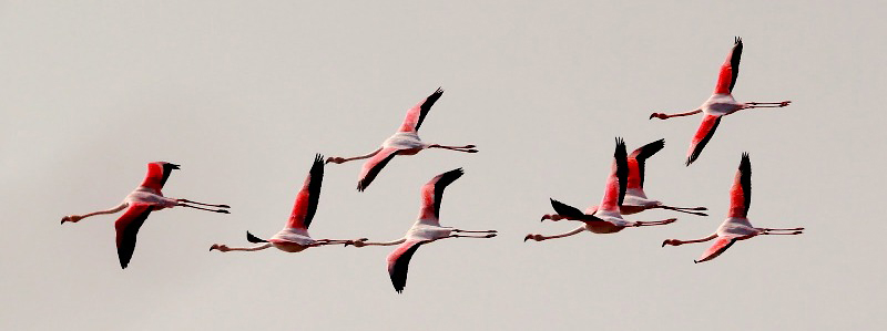 Photograph of Greater Flamingos