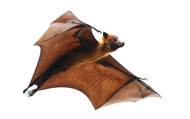 Photograph of Large Flying Fox