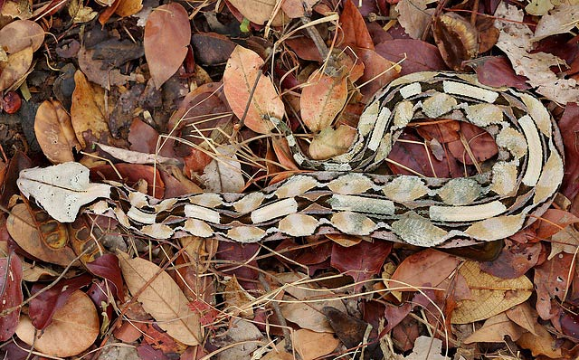 Photograph of Gaboon Viper