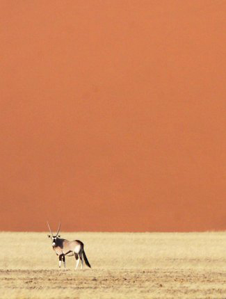 Photograph of Gemsbok