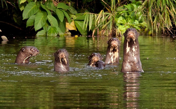 Photograph of Giant Otters