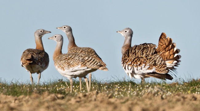 Photograph of Great Bustards