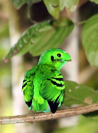 Photograph of Green Broadbill
