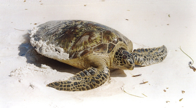 Photograph of Green Turtle