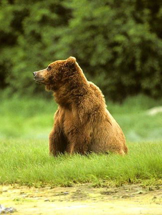 Photograph of Grizzly Bear