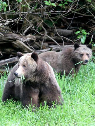 Photograph of Grizzly Bears
