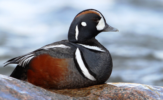 Photograph of Harlequin Duck