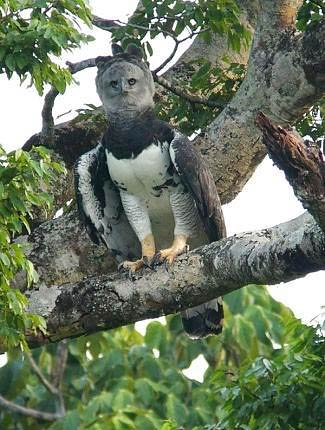 Photograph of Harpy Eagle