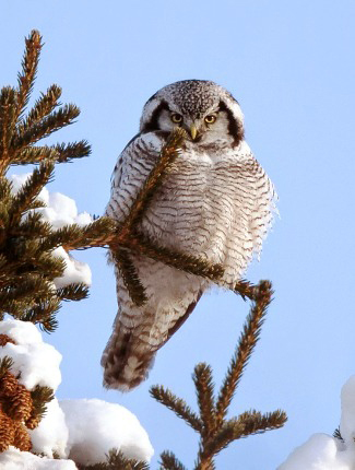 Photograph of Hawk Owl